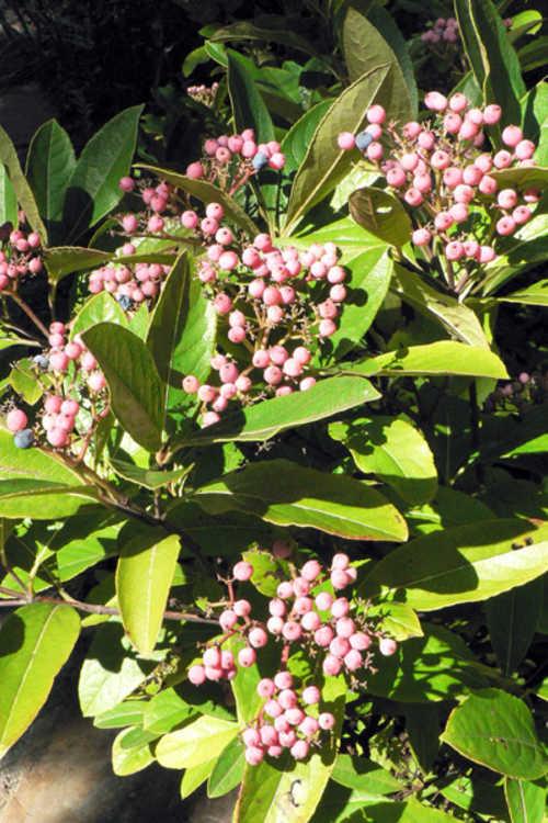 Viburnum nudum (possumhaw viburnum)