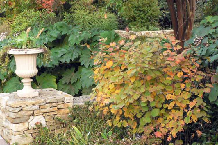 Fothergilla ×intermedia 'Mount Airy' (hybrid fothergilla)