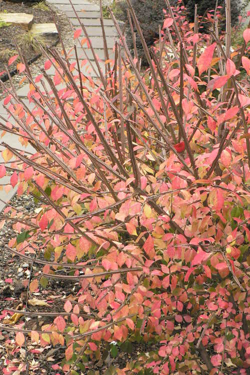 Euonymus alatus 'Timber Creek' (Chicago Fire burning bush)
