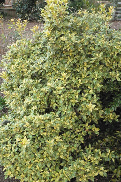 Osmanthus heterophyllus 'Goshiki' (gold-dust holly tea-olive)