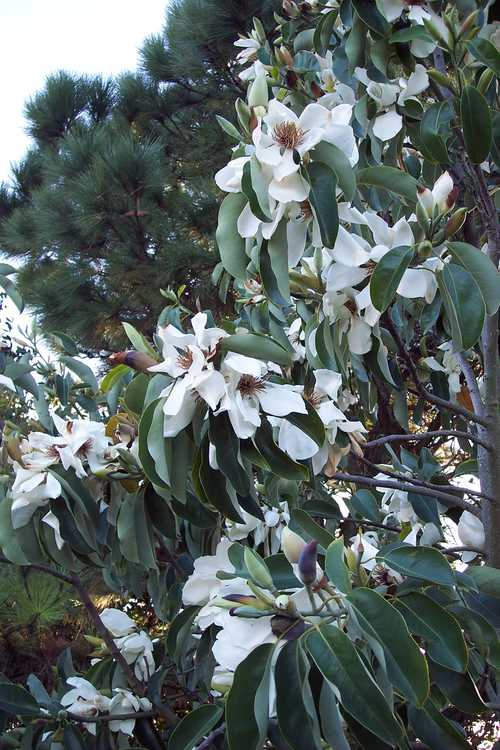 Magnolia maudiae (smiling forest michelia)