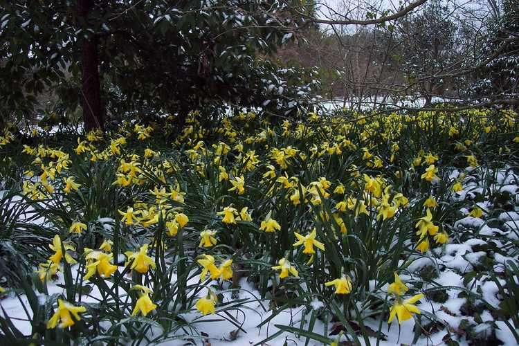 Narcissus 'February Gold' (cyclamineus daffodil)