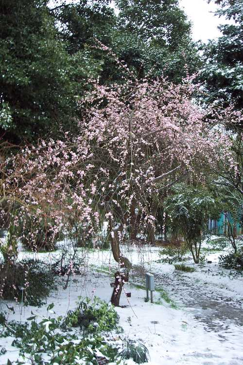 Prunus mume 'W. B. Clarke' (weeping Japanese flowering apricot) - Winter Garden