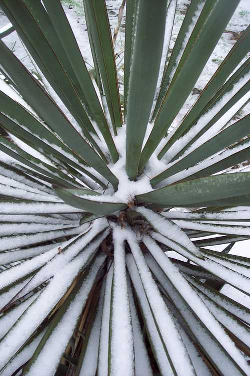 Yucca rostrata (Mexican blue yucca)