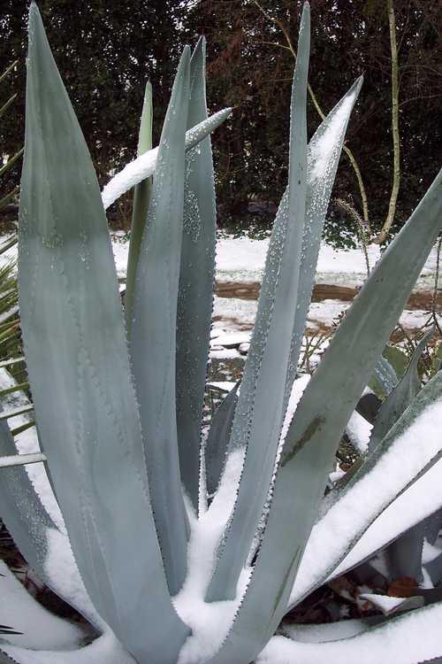 Agave ×protamericana (hardy century plant)