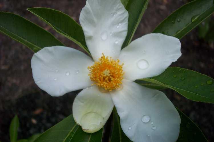 ×Gordlinia grandiflora (Franklin tree × loblolly bay bigeneric hybrid)