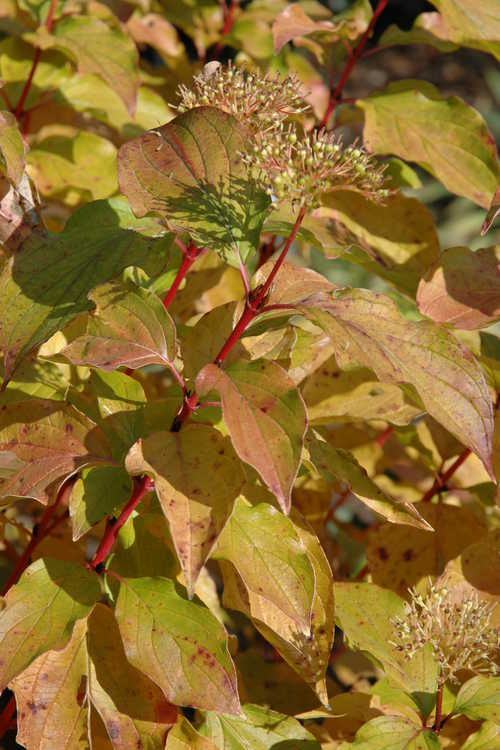 Cornus sanguinea 'Midwinter Fire' (bloodtwig dogwood)