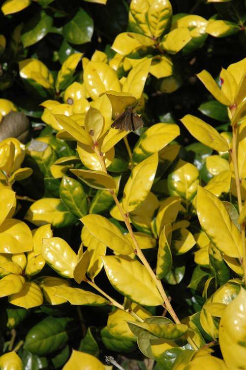 Ilex cornuta 'Sunrise' (golden Chinese holly)