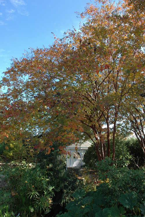 Lagerstroemia 'Natchez' (U.S. National Arboretum hybrid crepe myrtle)