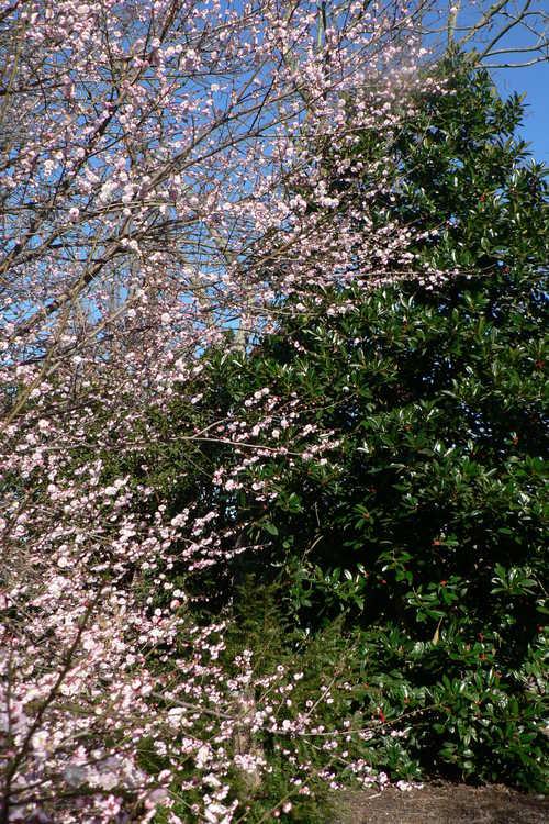 Ilex latifolia (lusterleaf holly) and Prunus mume 'Rose Bud' (pink Japanese flowering apricot)