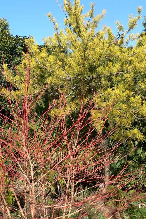 Cornus sanguinea 'Midwinter Fire' (bloodtwig dogwood) and Pinus virginiana 'Wate's Golden' (wintergold Virginia pine)