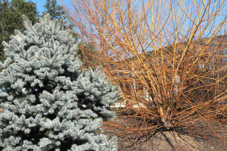 Picea pungens 'Hoopsii' (Colorado blue spruce) and Salix 'Flame' (red-stem willow)