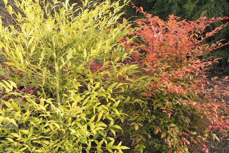 Nandina domestica 'Aurea' (yellow-berry heavenly bamboo) and Nandina domestica 'Umpqua Chief' (heavenly bamboo)