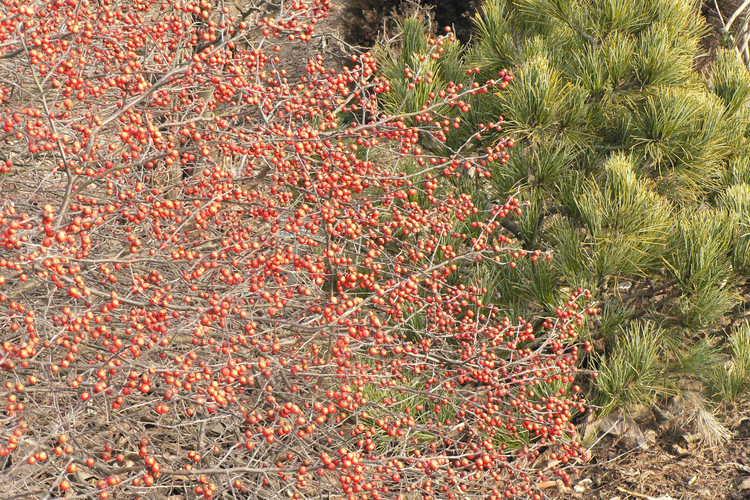 Ilex 'Carolina Cardinal' (hybrid winterberry holly) and Pinus cembra 'Silver Sheen' (Swiss stone pine)