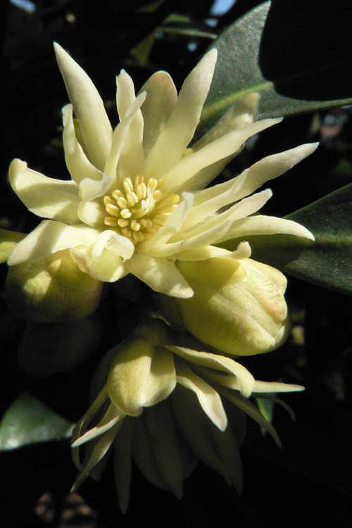 Illicium anisatum (variegated) (variegated star anise)