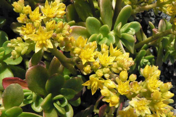 Sedum confusum (Mexican stonecrop)