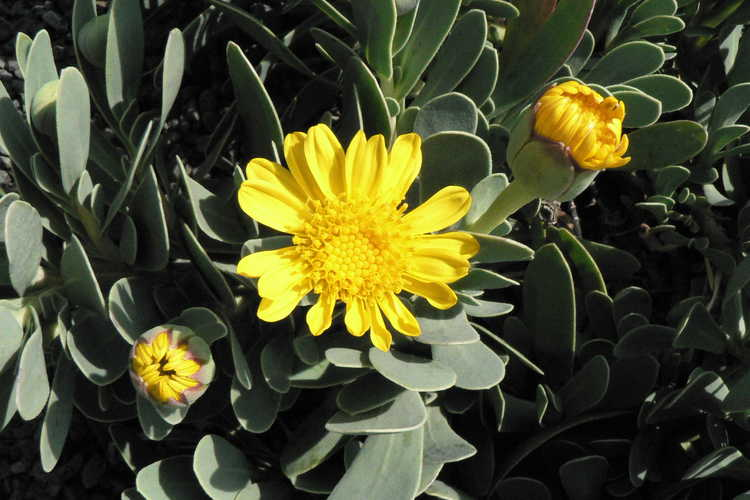 Othonna cheirifolia (barbary ragwort)