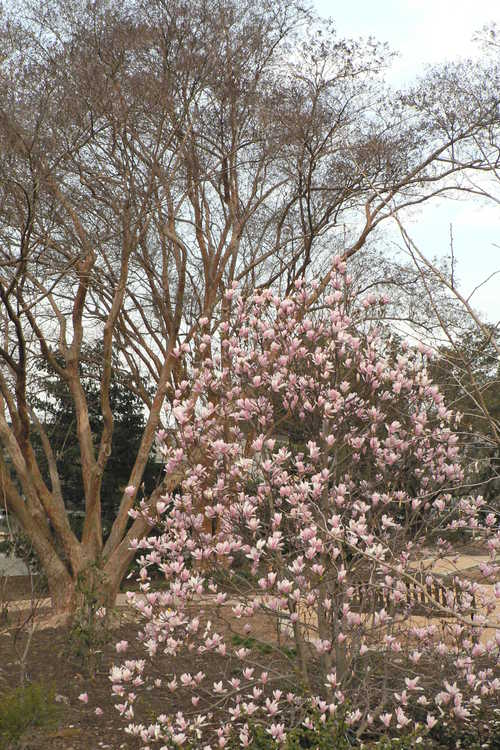 Lagerstroemia fauriei (Japanese crepe myrtle) and Magnolia ×soulangeana 'Lilliputian' (saucer magnolia)