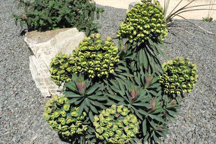 Euphorbia 'Charam' (redwing spurge)