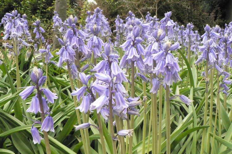 Hyacinthoides hispanica 'Excelsior' (Spanish bluebells)