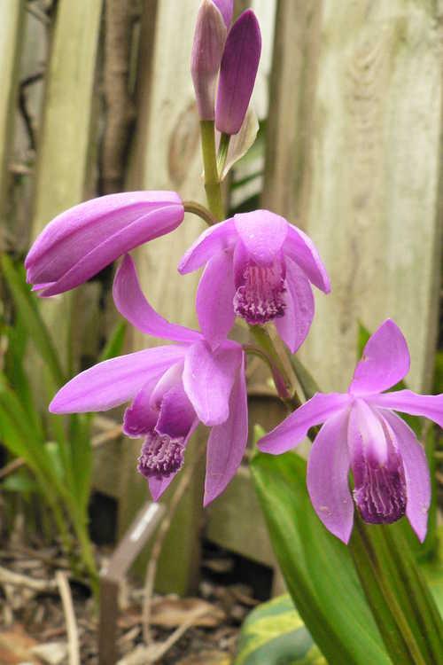 Bletilla striata (Japanese ground orchid)