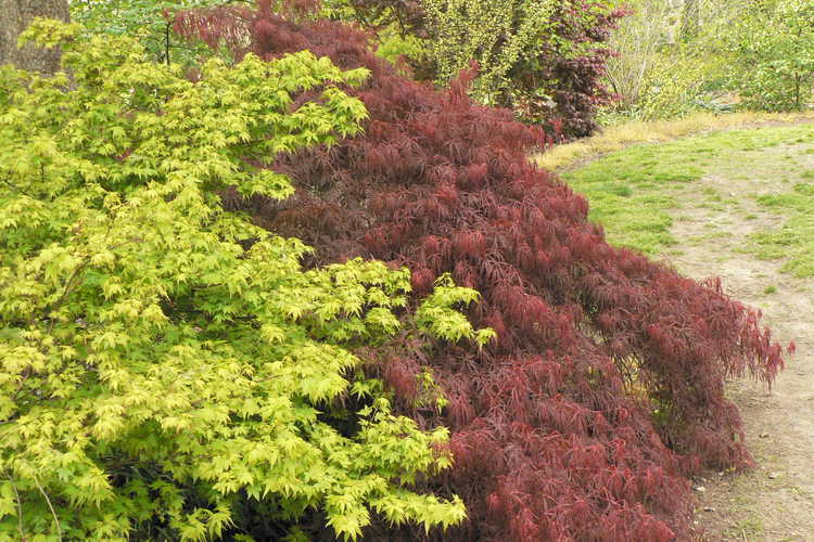 Acer palmatum 'Coonara Pygmy' (dwarf Japanese maple) and Acer palmatum Dissectum Atropurpureum Group (red lace-leaf Japanese maple)