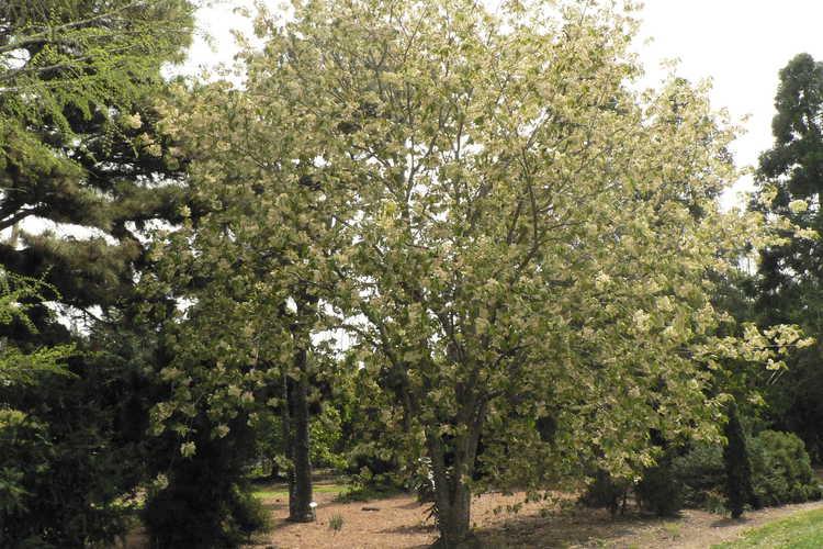 Prunus 'Ukon' (green-flowering cherry)