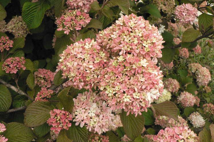 Viburnum plicatum 'Pink Sensation' (pink Japanese snowball viburnum)