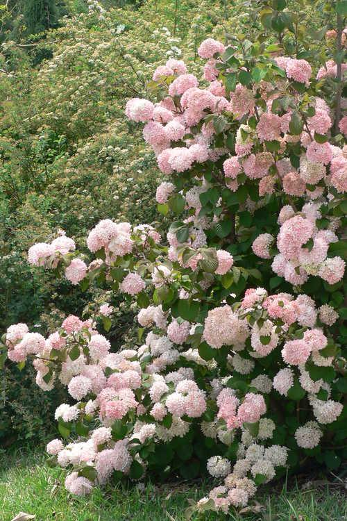 Spiraea crenata (scalloped spirea) and Viburnum plicatum 'Pink Sensation' (pink Japanese snowball viburnum)