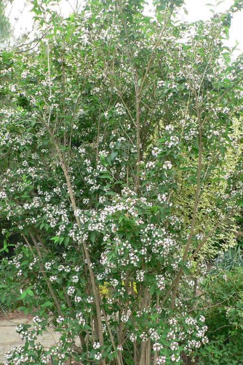 Abelia mosanensis (Mangsan abelia)