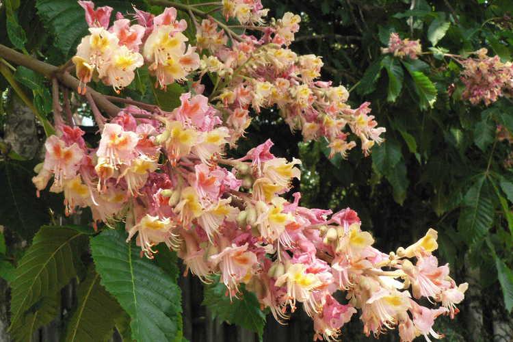 Aesculus ×carnea 'Rosea' (red horse chestnut)