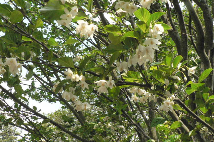 Styrax japonicus 'Emerald Pagoda' (Japanese snowbell)