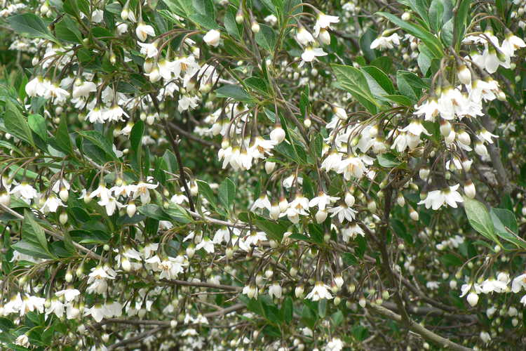 Styrax japonicus 'Crystal' (Japanese snowbell)
