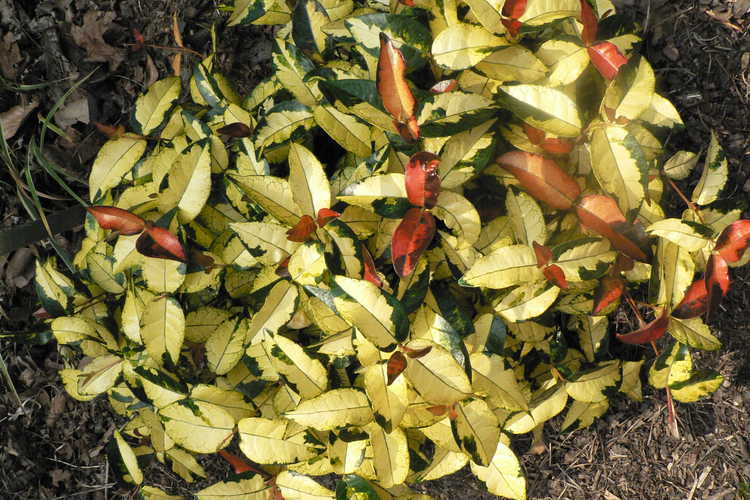 Trachelospermum asiaticum 'Ougon Nishiki' (golden Asiatic jessamine)