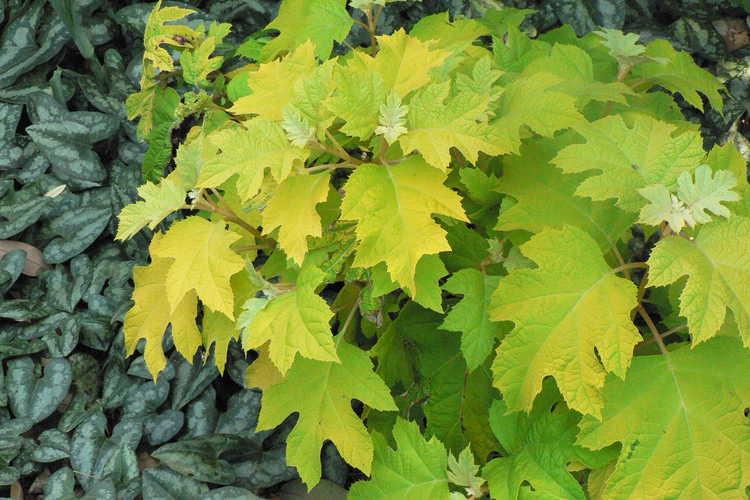 Asarum splendens (Chinese wild ginger) and Hydrangea quercifolia 'Little Honey' (golden oakleaf hydrangea)