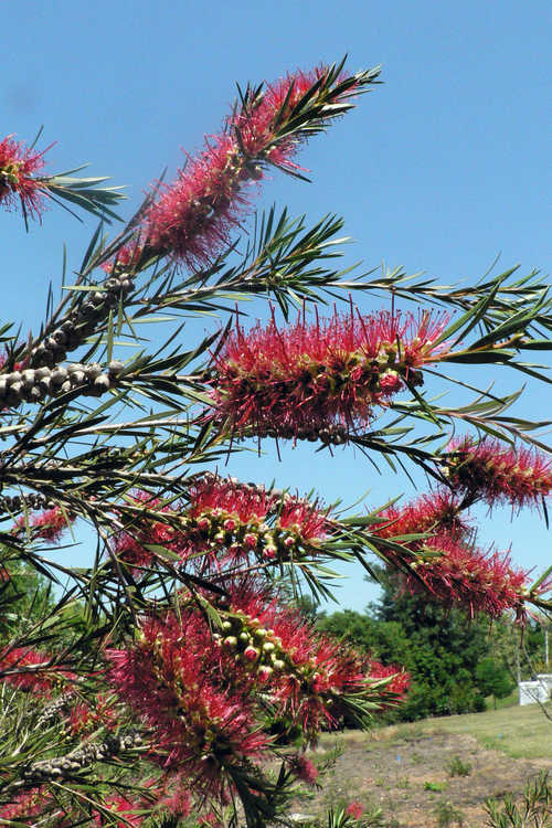 Callistemon 'Woodlander's Red' (hardy bottlebrush)
