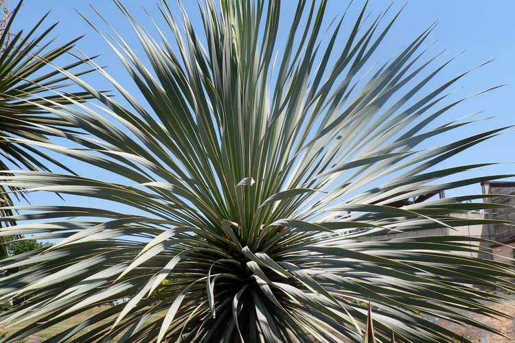 Yucca rostrata (Mexican blue yucca)