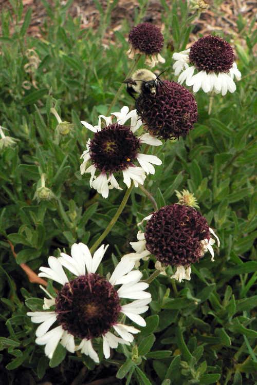 Gaillardia aestivalis var. winkleri (Texas firewheel)