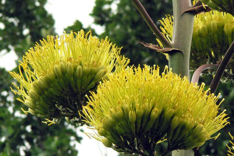 Agave salmiana (pulque agave)