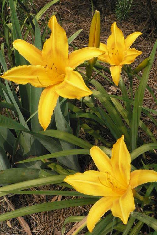Hemerocallis 'Cartwheels' (daylily)