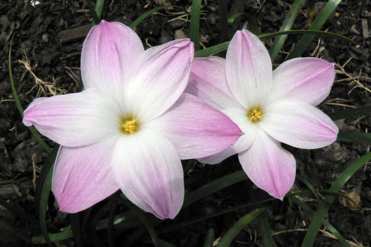 Zephyranthes 'Lily Pies' (rain-lily)