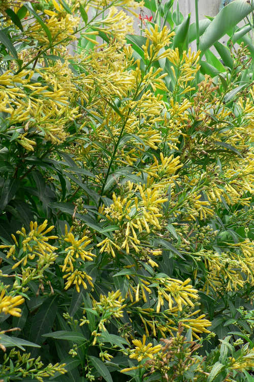 Cestrum parqui (willow-leaved jessamine)