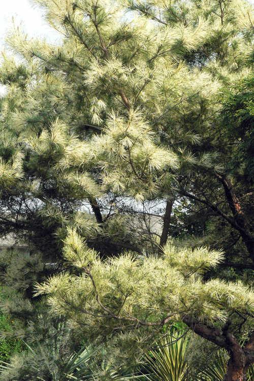 Pinus densiflora 'Oculus-draconis' (dragon's-eye Japanese red pine)