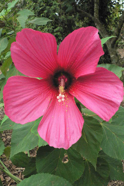 Hibiscus 'Moy Grande' (rose mallow)