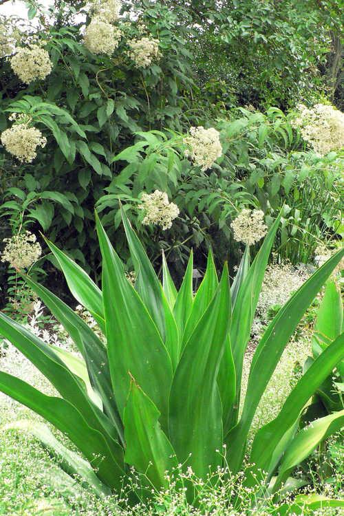 Eupatorium purpureum 'Joe White' (white sweet-scented Joe-Pye weed) and Furcraea foetida (Mauritius hemp)