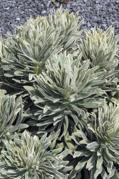 Euphorbia characias 'Glacier Blue' (Mediterranean spurge)