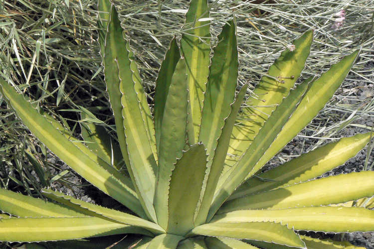 Agave lophantha (thorn-crested agave) and Plazia argentea