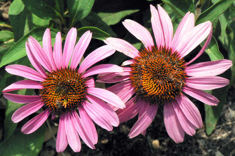 Echinacea purpurea 'Merlot' (eastern purple coneflower)
