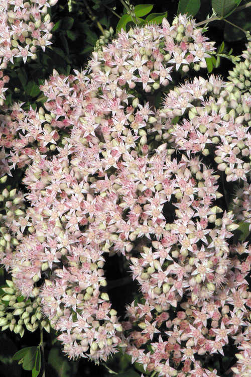Sedum 'Matrona' (common orpine)
