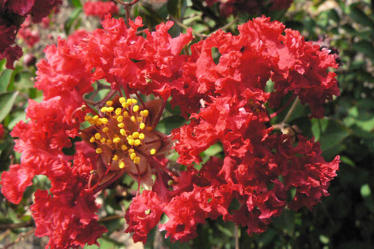 Lagerstroemia indica 'Whit IV' (Red Rocket® compact crepe myrtle)